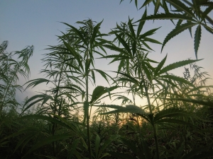 a photo of Michigan's industrial hemp